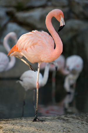 flamingo-one-leg